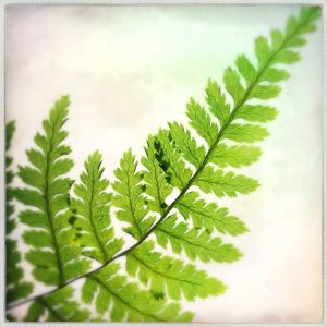 fern fronds fine art print