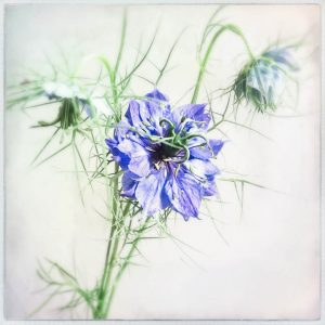 Nigella damascena, love-in-the-mist fine art print