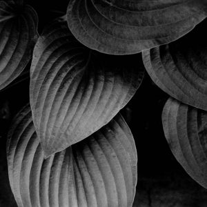 hosta leaves fine art print
