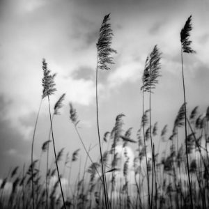 wind blown reeds fine art print